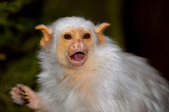 Silvery Marmoset Royalty Free Stock Photo