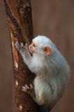 Silvery Marmoset. Holds on the branch royalty free stock image