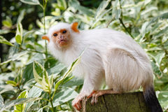 Silvery marmoset. (Callithrix argentata) adult in captivity royalty free stock photos