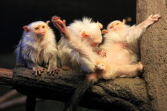 Silvery marmoset. The trio of silvery marmosets stock photography