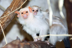 Silvery marmoset with a baby Stock Images