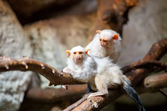 Silvery Marmoset on branch Stock Photo