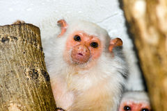 Silvery marmoset (Callithrix argentata) Royalty Free Stock Photo