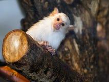 Silvery marmoset (Callithrix argentata). Silvery marmoset (Mico argentatus or Callithrix argentata Stock Photo