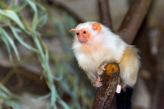 Silvery marmoset (Callithrix argentata). Silvery marmoset (Mico argentatus or Callithrix argentata Royalty Free Stock Images