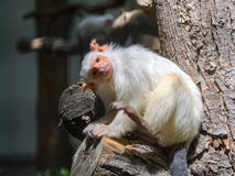 Silvery marmoset (Callithrix argentata) Royalty Free Stock Photos