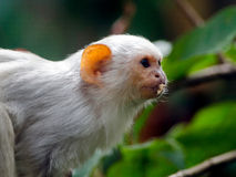 Silvery Marmoset Royalty Free Stock Images