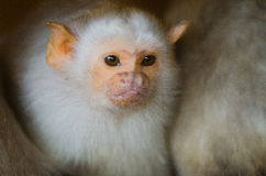 Silvery Marmoset 3. A Silvery Marmoset huddled for warmth Royalty Free Stock Photos
