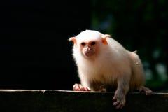 Silvery Marmoset (Mico argentatus). Silvery marmoset (latin Mico argentatus) sitting on a wall in sunlight stock photography