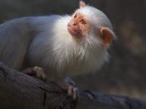Silvery marmoset Stock Image