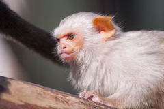 Silvery marmoset. (Mico argentatus or Callithrix argentata stock photography