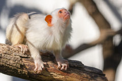 Silvery marmoset. (Mico argentatus or Callithrix argentata stock images