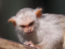 Silvery marmoset Stock Photos