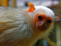 Silvery Marmoset. The silvery marmoset (Mico argentatus) is a New World monkey that lives in the eastern Amazon Rainforest in Brazil and northeastern Bolivia stock photography