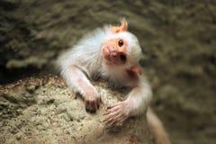 Silvery marmoset (Mico argentatus). Stock Image