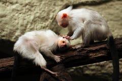 Silvery marmoset (Mico argentatus). Royalty Free Stock Photo