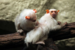 Silvery marmoset (Mico argentatus). Royalty Free Stock Photo