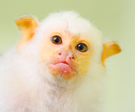The Silvery Marmoset. Royalty Free Stock Images
