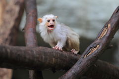 Silvery marmoset. The roaring juvenile of silvery marmoset stock photography