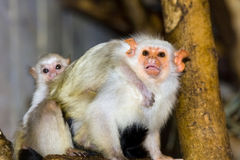 Silvery marmosets (Callithrix argentata). Silvery marmoset (Callithrix argentata or Mico argentatus) baby Stock Image