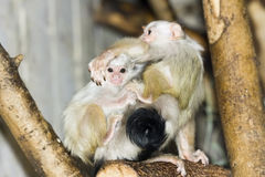 Silvery marmosets (Callithrix argentata). Silvery marmoset (Callithrix argentata or Mico argentatus) babies Royalty Free Stock Photo