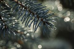 Silvery needles with magic raindrops of blue Picea pungens Hoopsii. Close-up in natural sunlight with beautiful bokeh. royalty free stock photography