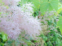Silvery pink smoke tree blossom royalty free stock photo