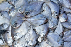 Silvery pomfret fish Royalty Free Stock Photo
