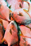 Silvery pomfret fish Stock Images