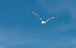 Silvery seagull Royalty Free Stock Images