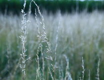 Silvery tall grass. Royalty Free Stock Photos
