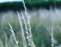 Silvery tall grass. Royalty Free Stock Photography