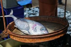 Silvery tuna on the scales. A street fish market on the shore of Royalty Free Stock Images