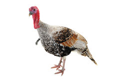 Silvery turkey-cock Royalty Free Stock Images