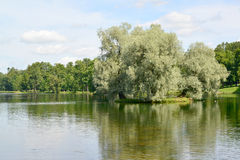The silvery willows growing on the island of Lake Beloye in Gatc Royalty Free Stock Image