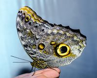 A silvery-yellow big butterfly sits folding its wings on a human Royalty Free Stock Photos