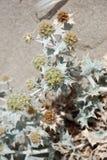 Silvester blommor Royaltyfria Foton