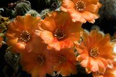 silvestrii λουλουδιών chamaecereus κάκτων στοκ φωτογραφία με δικαίωμα ελεύθερης χρήσης