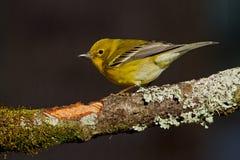 Silvia del pino (pinus del Dendroica) Fotografie Stock Libere da Diritti