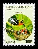 Silvia di Blackburnian (fusca) del Dendroica, serie degli uccelli, circa 1995 Immagine Stock