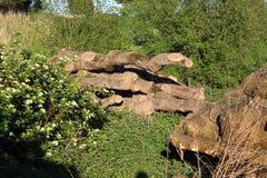 Silvicoltura della registrazione Una collina dei ceppi di legno, sega ha tagliato l'albero 3 Fotografia Stock