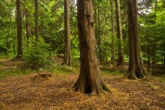 Silvicultura antiga de madeiras de Leigh dos abades Foto de Stock Royalty Free