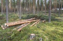 Silvicultura na floresta do pinho em Finlandia Foto de Stock
