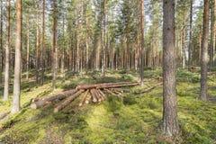 Silvicultura na floresta do pinho em Finlandia Fotografia de Stock