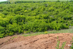 Silviculture around the clay quarry. Near the town of Pology. Zaporozhye region, Ukraine. June 2009 Stock Images
