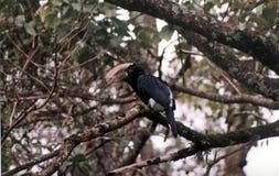 Silvrig cheecked hornbill Arkivbild