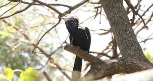 Silvrig-var fräck mot hornbillsittpinnar på träd lager videofilmer