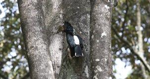 Silvrig-vara fräck mot hornbill som matar från hålet lager videofilmer