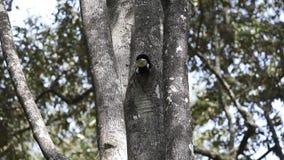 Silvrig-vara fräck mot hornbill som matar från hålet stock video