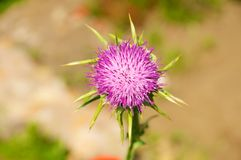 Silybum marianum, Cardo Mariano Royalty Free Stock Photos